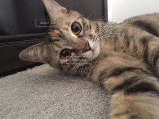 横になって、カメラを見ている猫の写真・画像素材[713617]