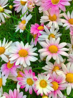 花の写真・画像素材[526300]