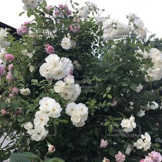 花の写真・画像素材[521579]
