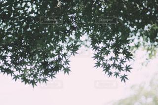 綺麗な青紅葉の写真・画像素材[1183204]