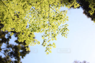 綺麗な青紅葉の写真・画像素材[1183205]