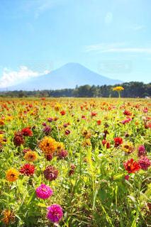 百日草×富士山の写真・画像素材[1416578]