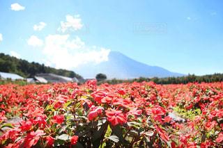 花畑×富士山の写真・画像素材[1416584]