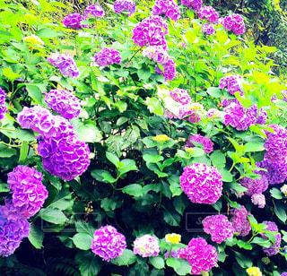 花の写真・画像素材[525271]