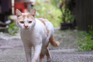 猫の写真・画像素材[528629]