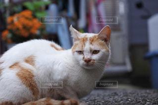 猫の写真・画像素材[528630]