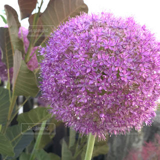 紫の写真・画像素材[540066]