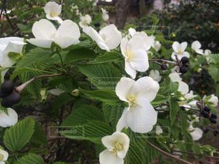 花の写真・画像素材[523976]