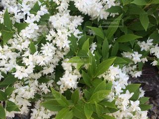 花の写真・画像素材[523981]