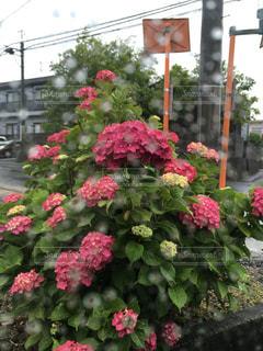 雨の写真・画像素材[529081]