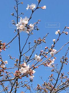 桜 春の写真・画像素材[1087263]