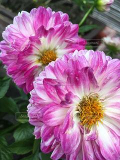 近くの花のアップの写真・画像素材[1234521]