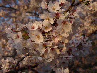 桜の写真・画像素材[527808]