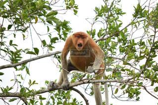猿の写真・画像素材[528612]