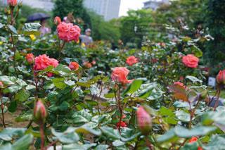 花の写真・画像素材[528538]