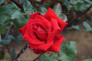 花の写真・画像素材[528546]