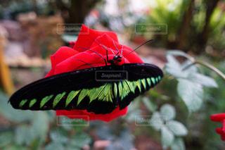 蝶とバラの写真・画像素材[851249]