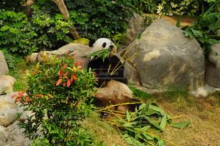食事中のパンダの写真・画像素材[853546]