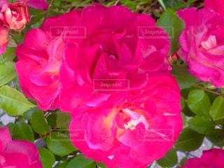 花の写真・画像素材[537612]