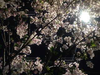 桜の写真・画像素材[545076]