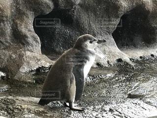 岩に立っているペンギンの写真・画像素材[1289157]