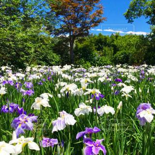大きな紫色の花が庭にあるの写真・画像素材[2224537]