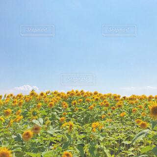 野原の黄色い花の写真・画像素材[2373233]