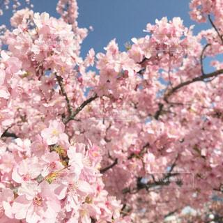 ピンクの花のグループの写真・画像素材[2982819]