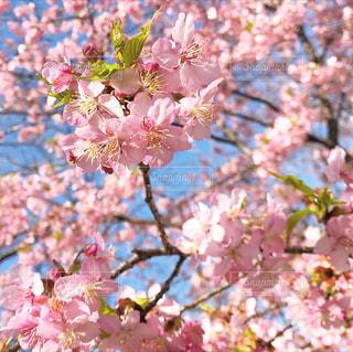 ピンクの花を持つ木の写真・画像素材[2982825]