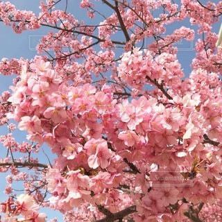 ピンクの花を持つ木の写真・画像素材[4205827]