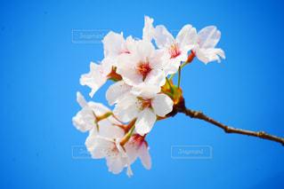 桜の写真・画像素材[524779]