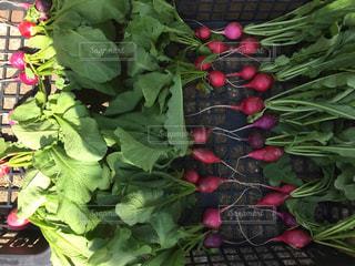 野菜の写真・画像素材[526042]