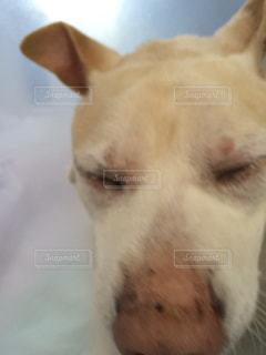 犬の寝顔の写真・画像素材[532170]