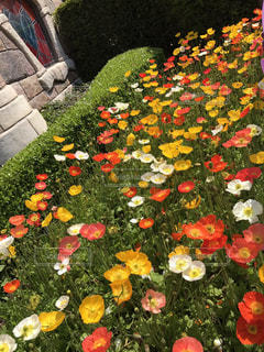 花畑の写真・画像素材[525334]