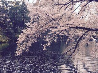 桜 - No.525422
