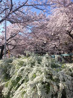 桜の写真・画像素材[532354]