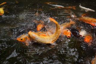 鯉の写真・画像素材[526008]
