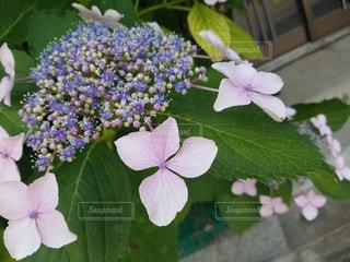 花の写真・画像素材[525049]