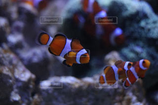魚の写真・画像素材[525113]