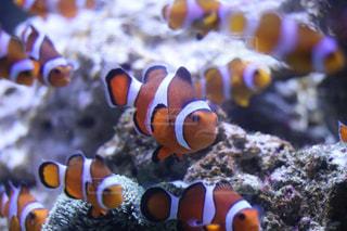 魚の写真・画像素材[525114]