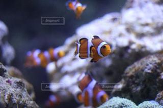 魚の写真・画像素材[525115]