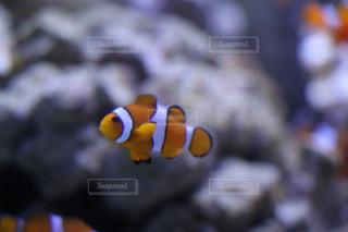 魚の写真・画像素材[525118]