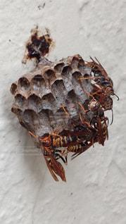 蜂の写真・画像素材[526229]