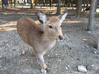 鹿の写真・画像素材[533908]