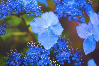 紫陽花の写真・画像素材[533847]