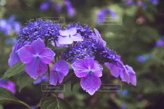 紫陽花の写真・画像素材[533848]