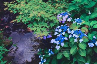 紫陽花の写真・画像素材[533852]