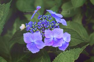紫陽花の写真・画像素材[533853]