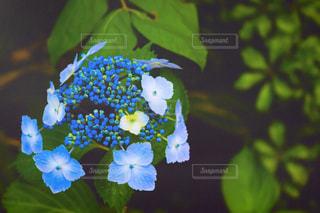 紫陽花の写真・画像素材[533854]
