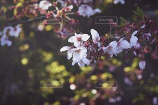 桜の写真・画像素材[533882]